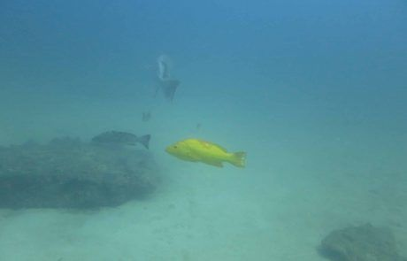 Yellow Leopard Grouper